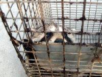 Young raccoon peeking out of a trap in Macon, Georgia