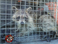 Young raccoon in a cage trap after being removed from a house in Dunlap Tennessee