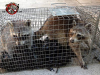 Two young raccoons in a cage trap after being removed from the attic of a house in Signal Mountain Tennessee
