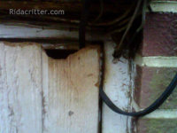 A Norway rat home in the top of a crawl space door in Irondale, Alabama