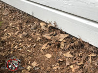 Signs of digging in the ground outside a house in Chattanooga where a rat was trying to burrow its way into the house