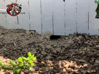 Norway rat burrow in the soil outside and leading under a house in Jackson Georgia