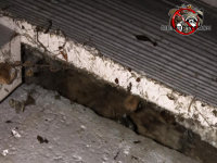 Gap between the siding and the foundation allowed Norway rats to get into a house in Chattanooga