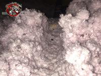Dirty rat burrows through the attic insulation in a house in Birmingham Alabama