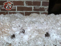 Three hole in the blown in attic insulation made by rats in the attic of a house in Macon Georgia
