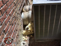Gaps around ducts coming from the air conditioning units and through the brick wall of a house in Americus Georgia allowed rats to get into the house