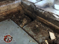 Rat burrowed up through the soil into the grease trap area in the kitchen or a restaurant in Birmingham Alabama