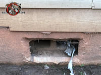 The foundation vent cover is completely missing and allowed Norway rats to get into the crawl space of a house in Birmingham Alabama.