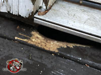Rats gnawed away the edge of the in most slat of a wooden deck near the door of a house in Chattanooga Tennessee