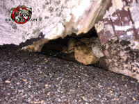 Roof rat hole above the shingle by the chimney