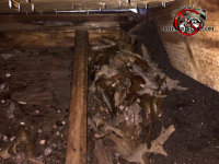 Roof rat droppings and a nest made of leaves in the eave of the attic of a house in Birmingham Alabama