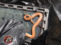 Young rat snake on top of a storage bin in a pickup truck after the snake was removed from a house in Columbus Georgia.
