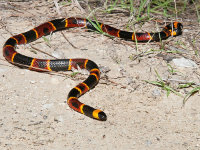 An Eastern coral snake, one of the venomous snakes found in Georgia, on the ground