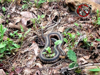 Garter snake on the ground outside a house in East Brainerd Tennessee