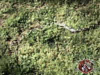 Rat snake slithering through the grass and weeds outside a house in Chattanooga Tennessee
