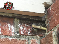 Snake poking its head out from a gap in the brick wall of a house in Jasper Tennessee