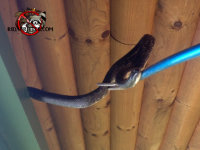 Snake being removed with a pole and snare from a log cabin in Macon, Georgia