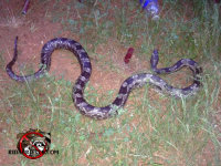 Snake in the grass after being removed from a house in Macon, Georgia