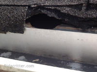Squirrel hole in a roof at a Birmingham, Alabama squirrel removal job