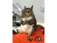 A tame squirrel sitting in the Rid A Critter office munching on some peanuts