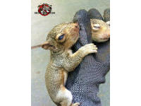 A technician's gloved hand with two baby squirrels clinging to it. One is peacefully sleeping