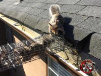 Mother squirrel looking at her baby, who is in a box trap on the edge of the roof of a house