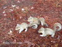 Three young squirrels on the ground, found at a Maylene, Alabama squirrel removal job
