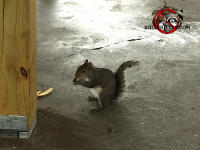 Squirrel standing and eating a nut on the floor of one of Rid-A-Critter's warehouses