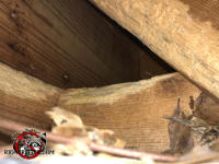 Gray squirrels gnawed at the rafters and joists in the attic of a house in Dunwoody Georgia