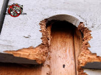 Severe damage to exterior wood of a house where squirrel enlarged a knot hole into an entry hole