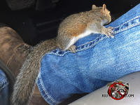 Young squirrel crawling on a the leg of an animal control technician while the technician is driving his service truck