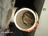 A view into the cut end of a PVC pipe that shows a squirrel dead inside the pipe. The squirrel got stuck in the bend of the pipe.