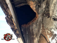 Big squirrel hole gnawed through the wooden soffit of an old house in Hoover Alabama