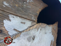 Squirrel holed gnawed through the wooden roof timbers at a miter joint at a house in Macon Georgia
