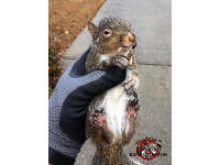 Young squirrel being held in a technician's gloved had after being removed from a house in Birmingham