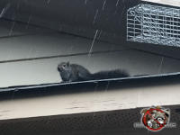 Squirrel sitting on the near edge of the porch roof of a house in Birmingham Alabama and looking toward the camera
