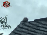 Squirrel perched on the peak of the roof of a house in Macon Georgia