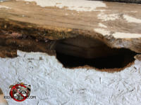 Fist sized horizontal oblong hole that gray squirrels gnawed through the roof sheathing and fascia and into the attic of a house in Birmingham Alabama