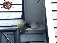 Squirrel nest sticking out through a hole caused by water damage at a house in East Brainerd Tennessee