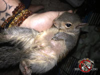 Young squirrel being held face up after being removed from a house in Signal Mountain Tennessee