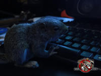 A tired looking young squirrel at the keyboard of a computer in a darkened room