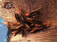 Several red paper wasps in a clump outside a barn