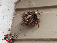 Paper wasps and nest on the siding of a house in east Brainerd Tennessee