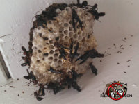 Paper wasp nest with wasps on the outside of a home in Macon, Georgia