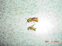 Yellow jackets removed from Norcross, Georgia