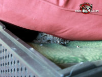 Yellow jackets nest between two seat cushions stored in a plastic storage bin