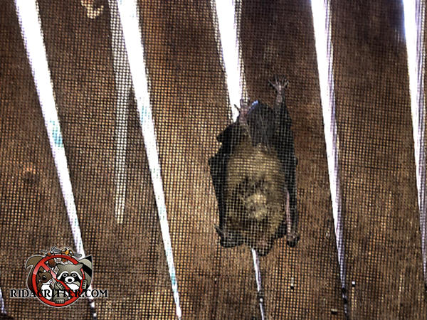 Single bat hanging from the screen behind a wooden gable vent outside the attic of a house in Athens Georgia