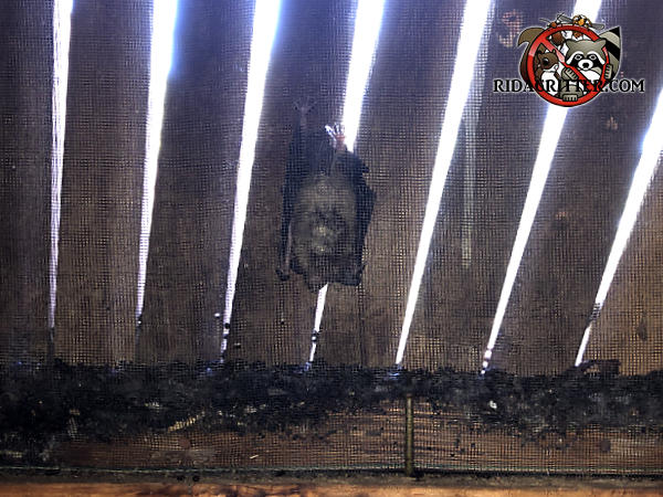 Bat hanging from the screen of a gable vent in the attic of a house in Atlanta with about an inch of guano on the bottom of the gable vent frame