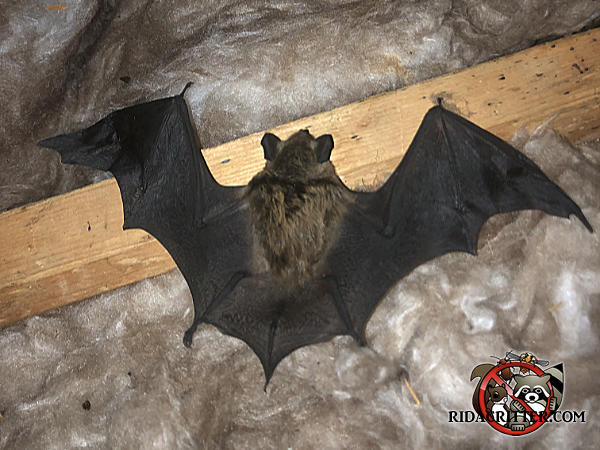 Bat with its wings spread lying on the insulation and floor joist in the unfinished attic of a house in Cumming Georgia