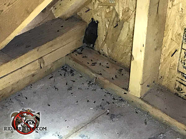 Single bat in the corner of the attic of a house in Fayetteville Georgia